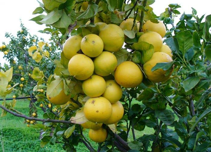 bergamot orange, citrus fruit